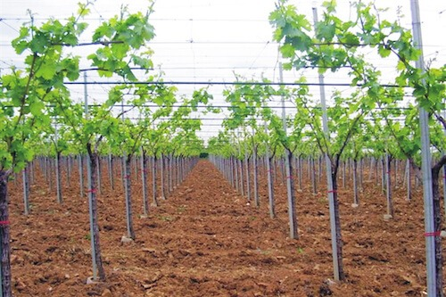 vineyards and other plantations